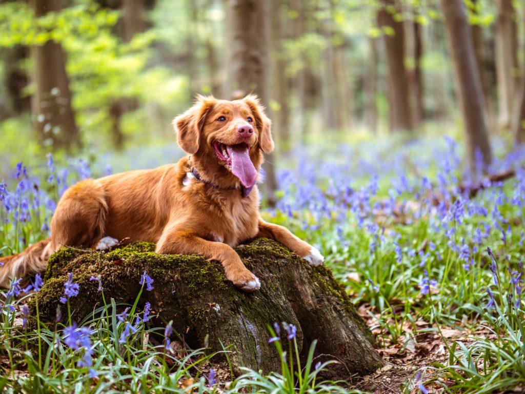 Un chien au milieu des fleurs.